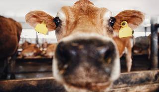 up close cow face