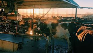 Cows in milking shed autumn
